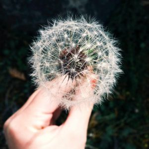 Left hand holding a grown dandelions turn to seed